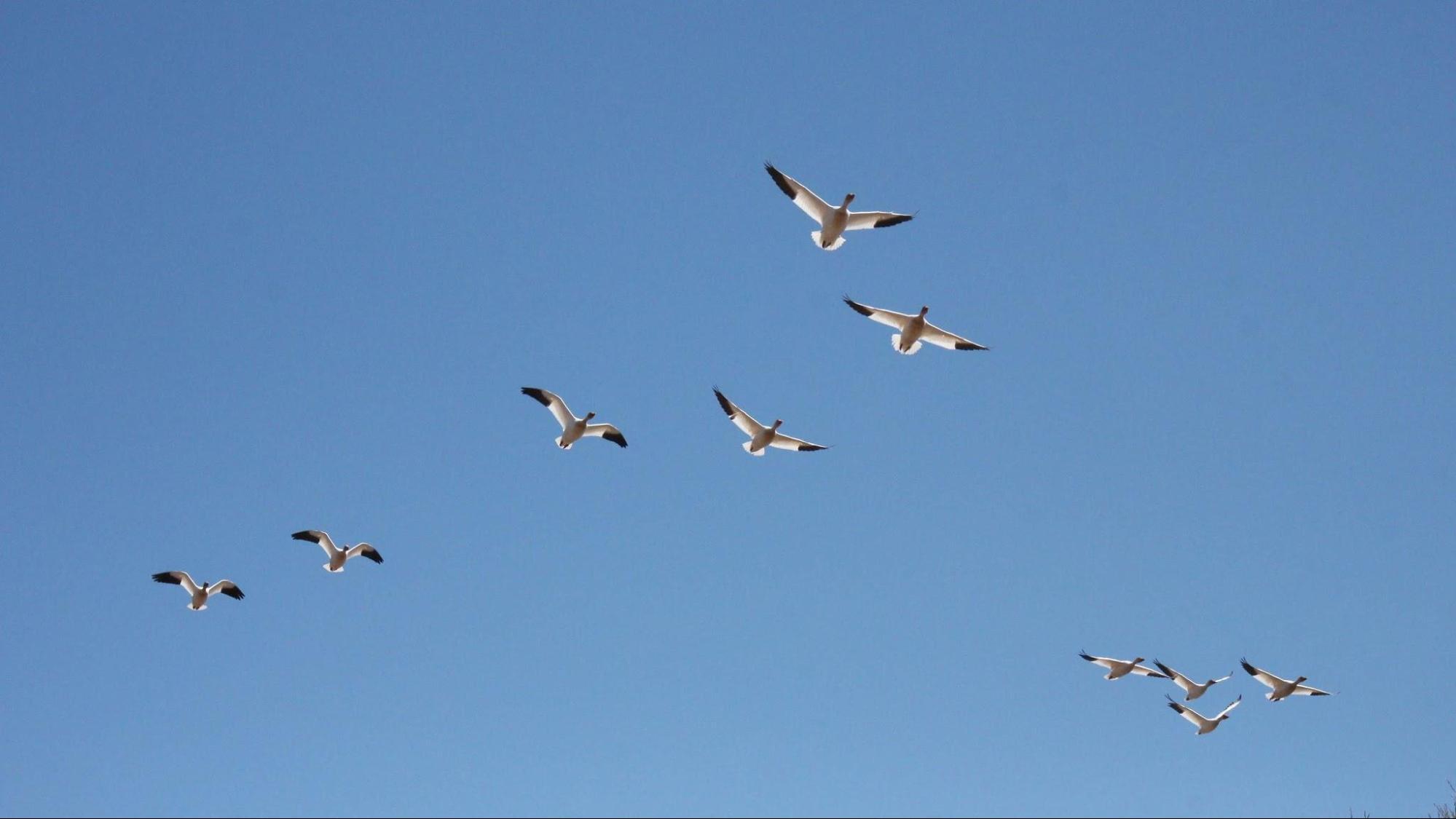 ガイドブックに載ってない100万羽のガチョウが見れるケベックの公園って?
