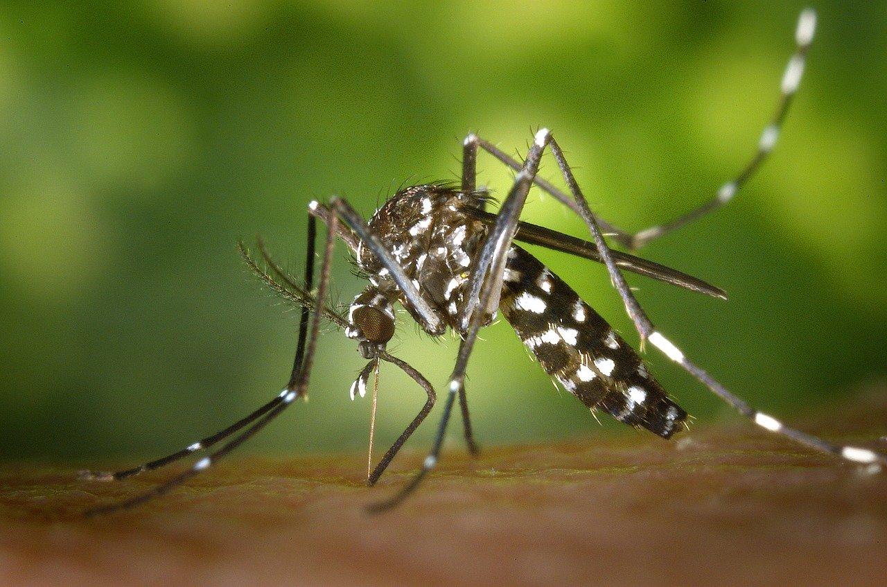 20倍の巨大蚊がケベックに現れた。刺されたら痒いより痛い!