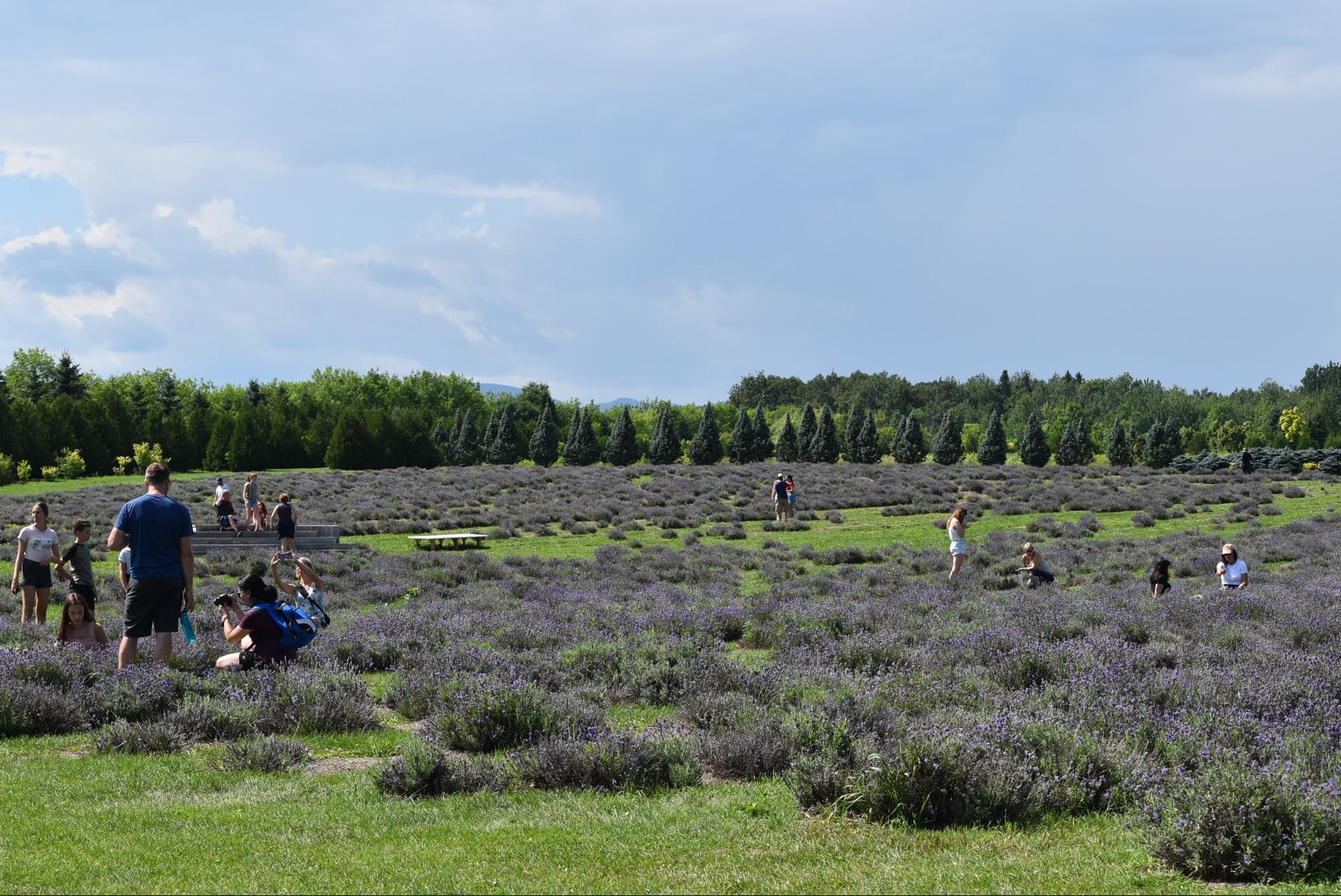 オルレアン島のラベンダー畑