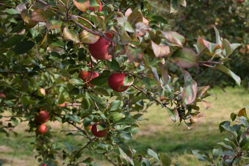 ケベックシティから行けるりんご園に行ったら紅葉がきれいすぎた